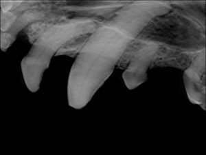 radiograph of Kizzy's 204