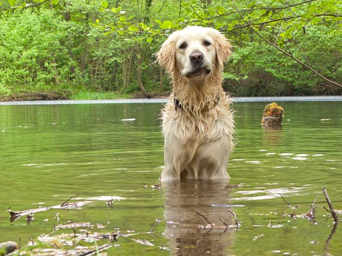 dog in standing water