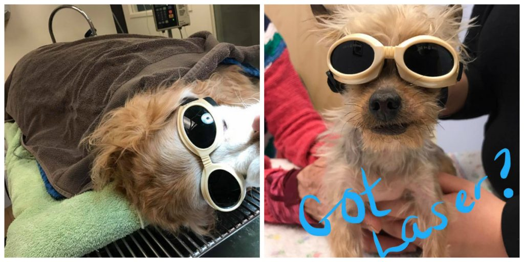 laser therapy after dental for older dog and boomer