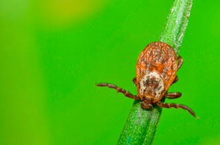 Colorado parasites include ticks like this one