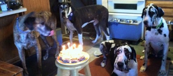 A group of great danes have a birthday with Dr. Winton.