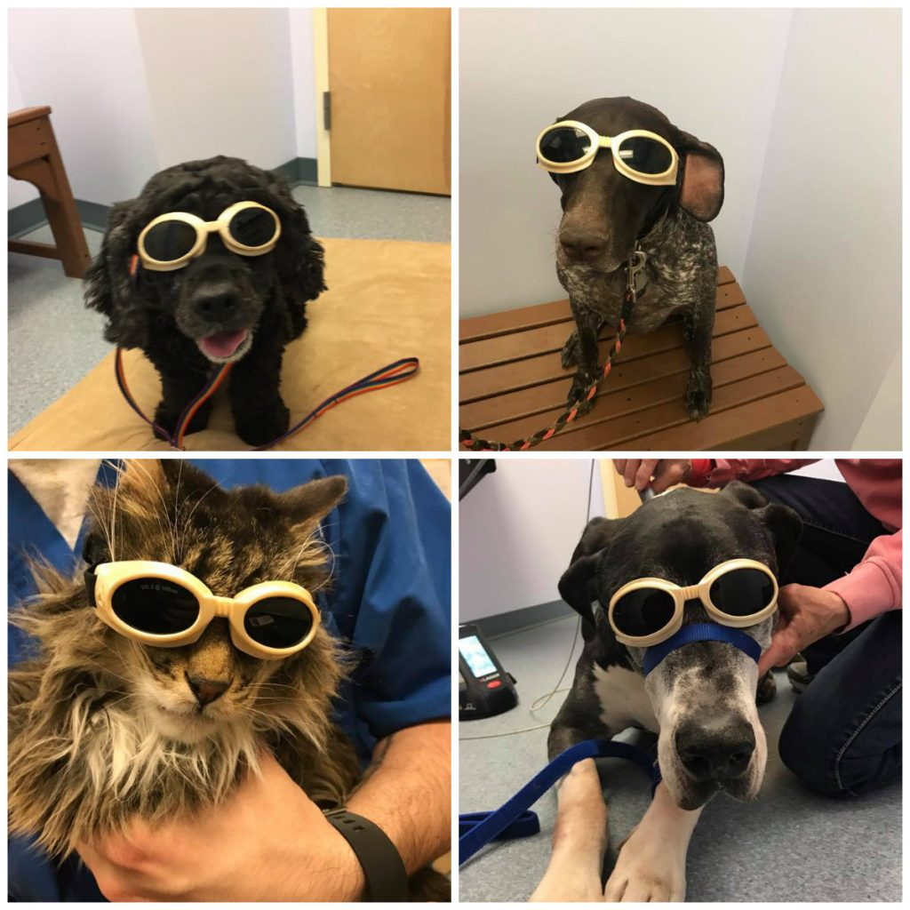cats and dogs wearing goggle and looking great laser therapy is for all pets